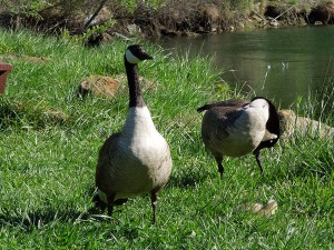 Geese Family-5